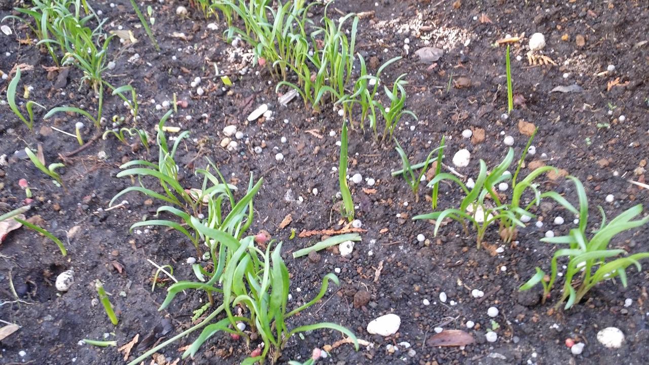 20180328 ミナミヌマエビの餌「赤軸ほうれん草」種まきから2週間後