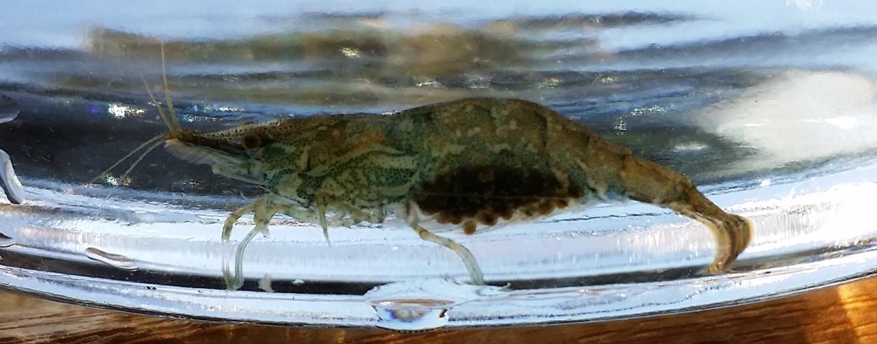 20180423 ミナミヌマエビの抱卵個体