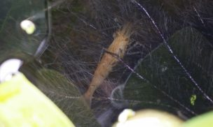 20180523 ホテイ草の根の中でくつろぐミナミヌマエビ