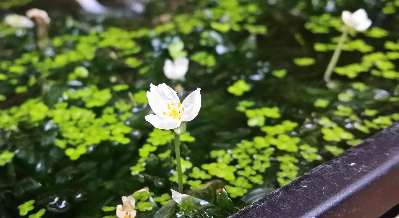 アナカリスも花を咲かします 20190624