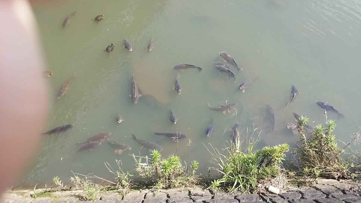 放流されている鯉
