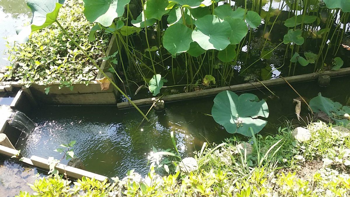 ミナミヌマエビが獲れるハス池